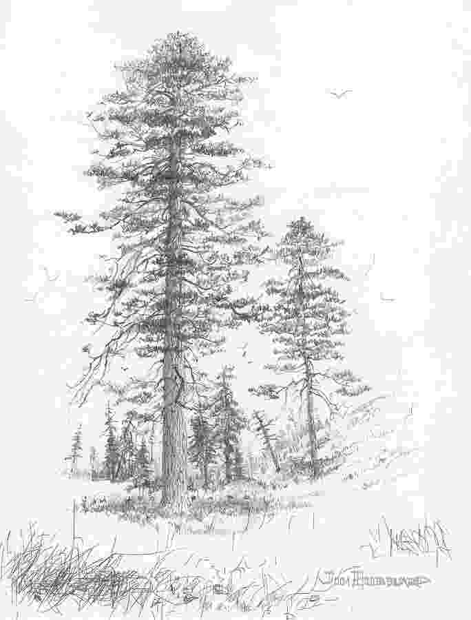 pine tree sketch pine tree sketch look not yetti haha cake sketch tree pine