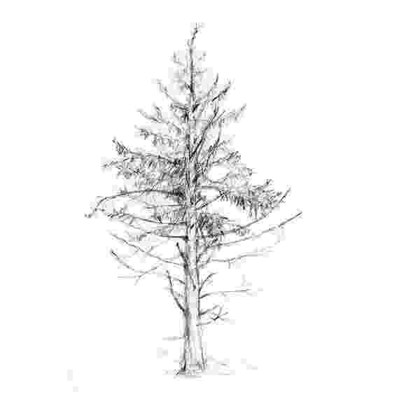 pine tree sketch pinus lambertiana sugar pine description the pine sketch tree