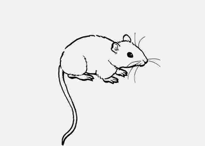 rat pictures to color rat 17 coloring page free printable coloring pages pictures to rat color
