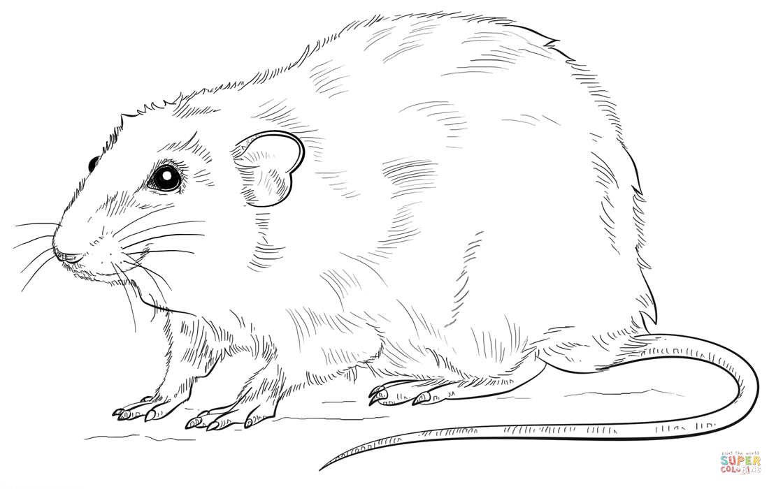 rat pictures to color rat coloring pages getcoloringpagescom color rat to pictures