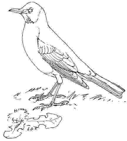 robin colouring 11 best images about burgess bird book on pinterest colouring robin