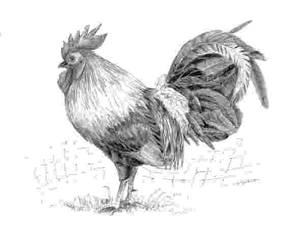 rooster sketch my meaningless job pushed me into alcoholism and drugs sketch rooster