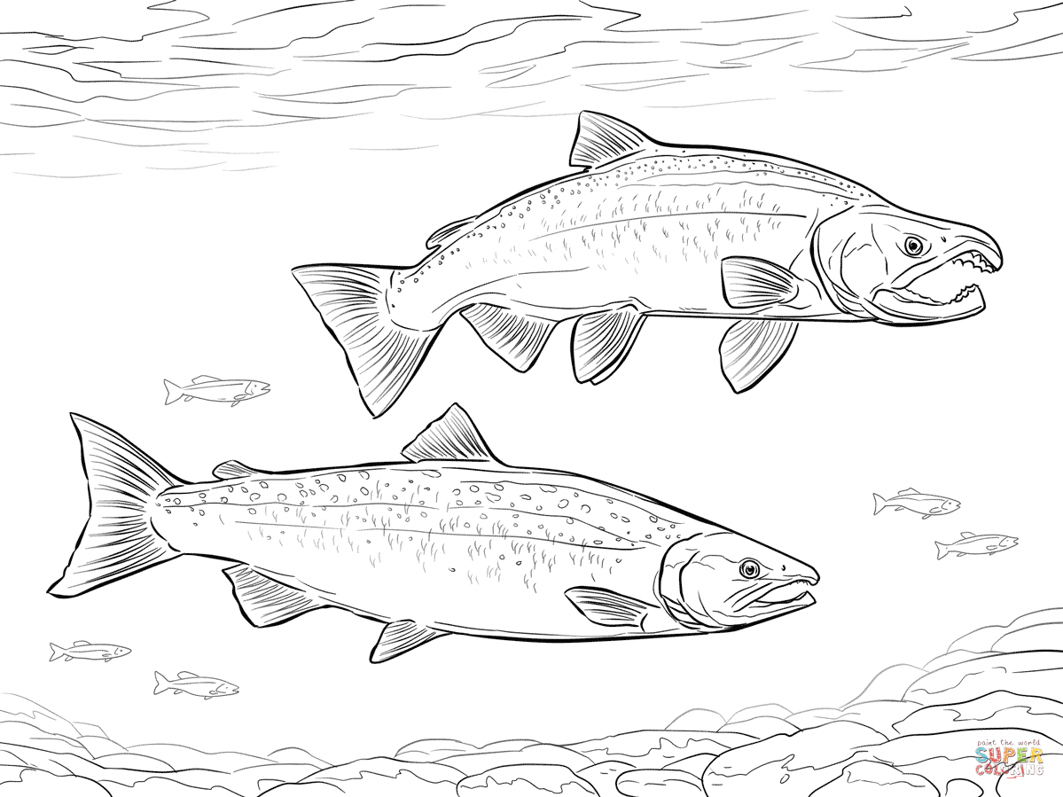 salmon pictures to color pacific salmon coloring pages download and print for free color salmon to pictures