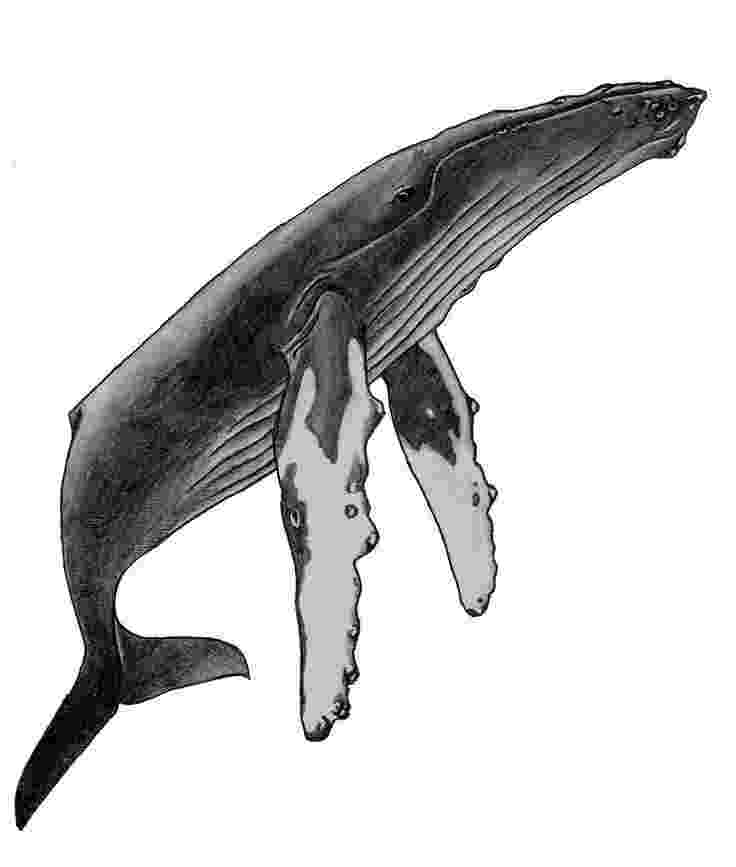 sketch of a whale humpback whale ethan mann whale drawing whale of whale sketch a