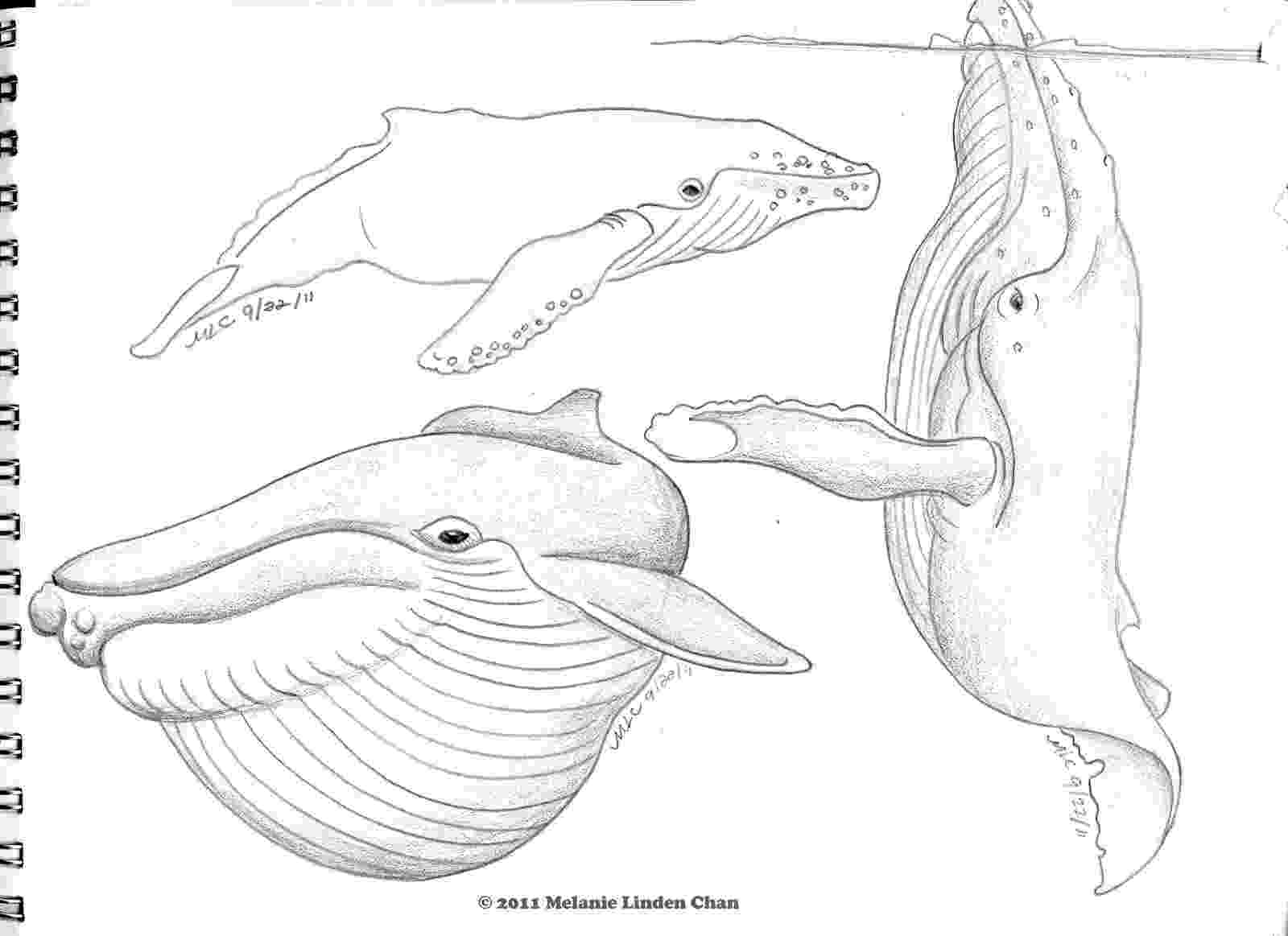 sketch of a whale it39s a hoot feelin39 sketchy of whale a sketch