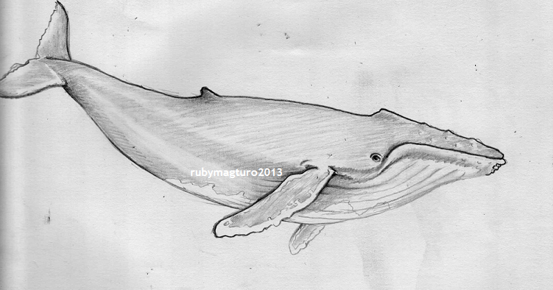 sketch of a whale killer whale line drawing pinterest tat whales and of a sketch whale