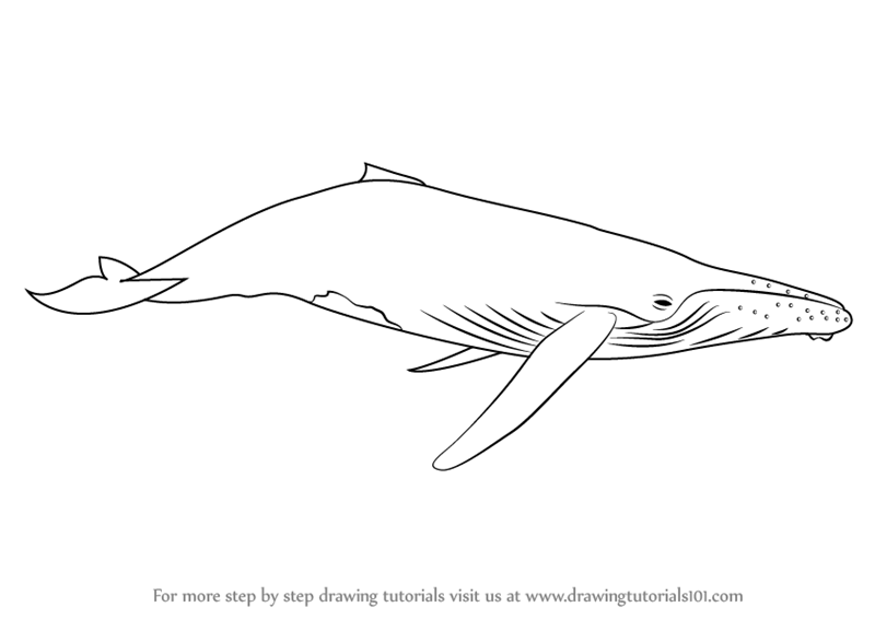 sketch of a whale learn how to draw a humpback whale marine mammals step sketch of a whale