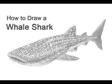 sketch of a whale minke whale whale sketch a of