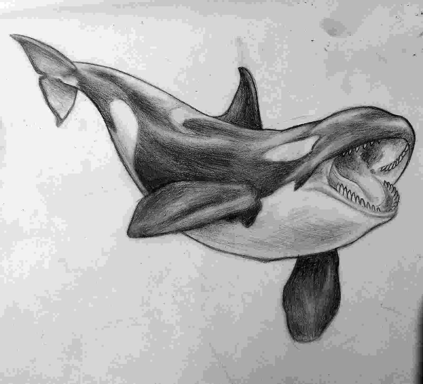 sketch of a whale whale drawing by rob m harper whale sketch a of