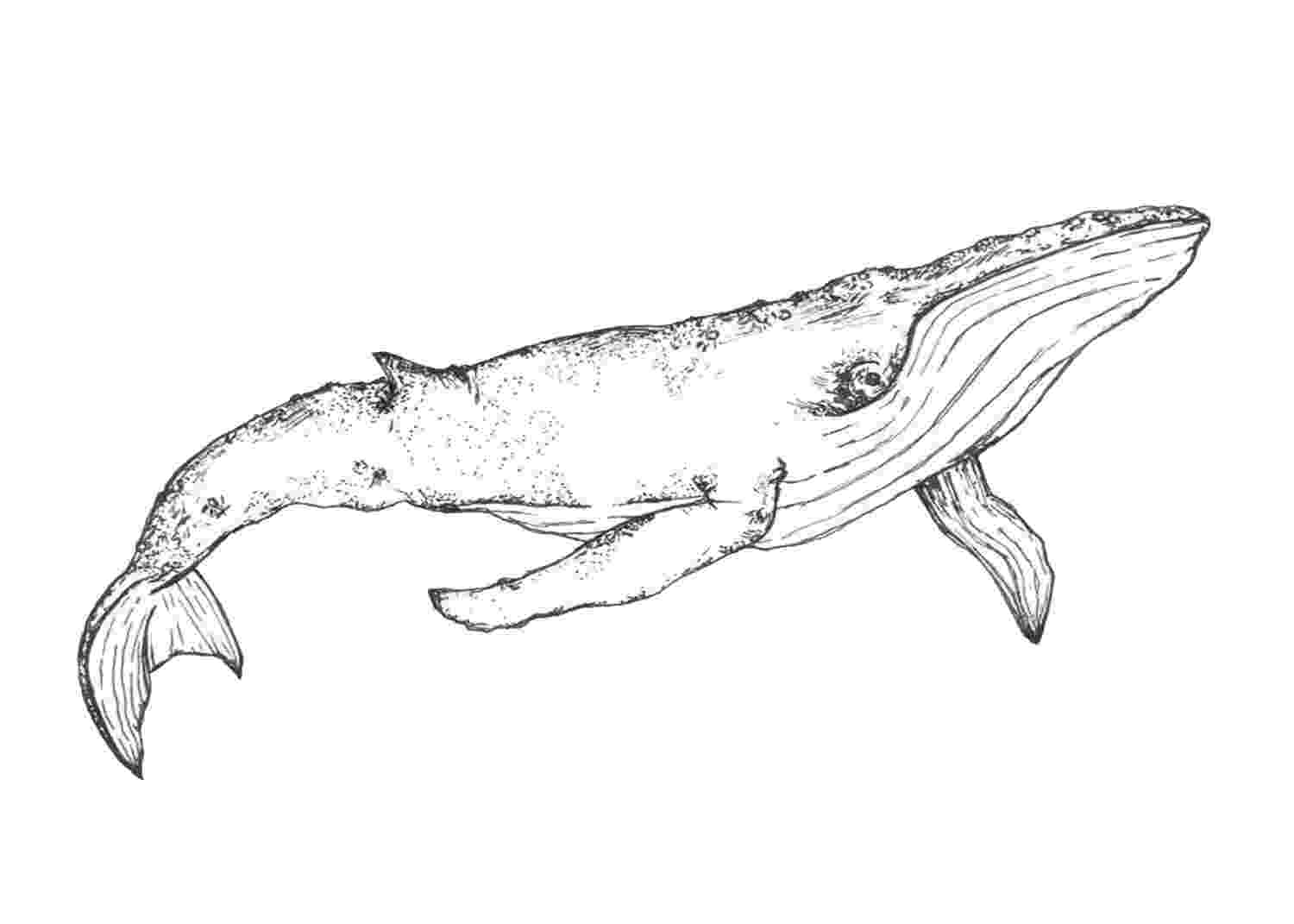 sketch of a whale whale pen drawing printable digital download file etsy of whale a sketch