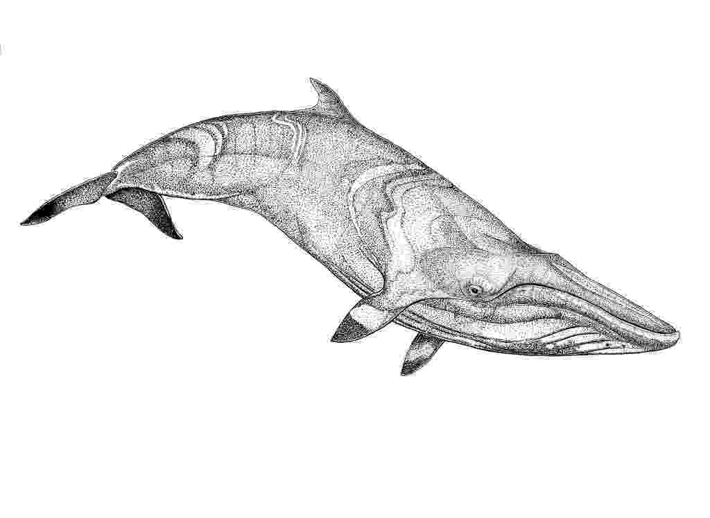 sketch of a whale whale sketch at paintingvalleycom explore collection of of whale a sketch