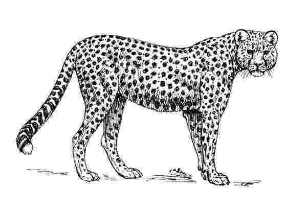 sketch of cheetah big cat line drawings sketch of cheetah