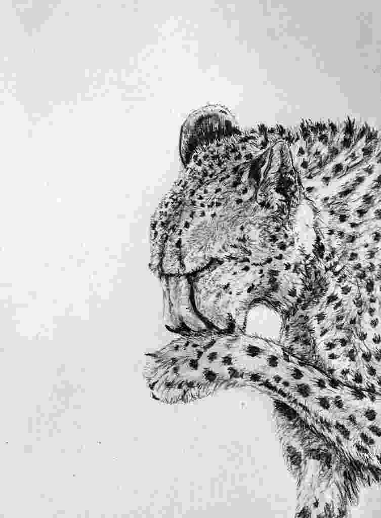 sketch of cheetah black and white pencil sketch of a cheetah pencil sketch cheetah of