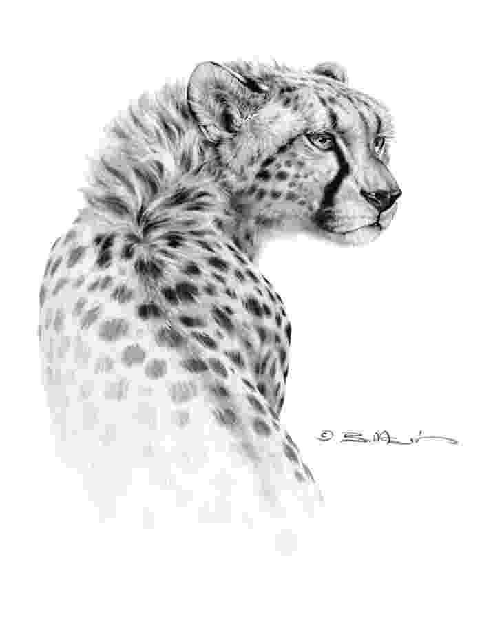 sketch of cheetah cheetah by bill melvin graphite drawing my work in of sketch cheetah
