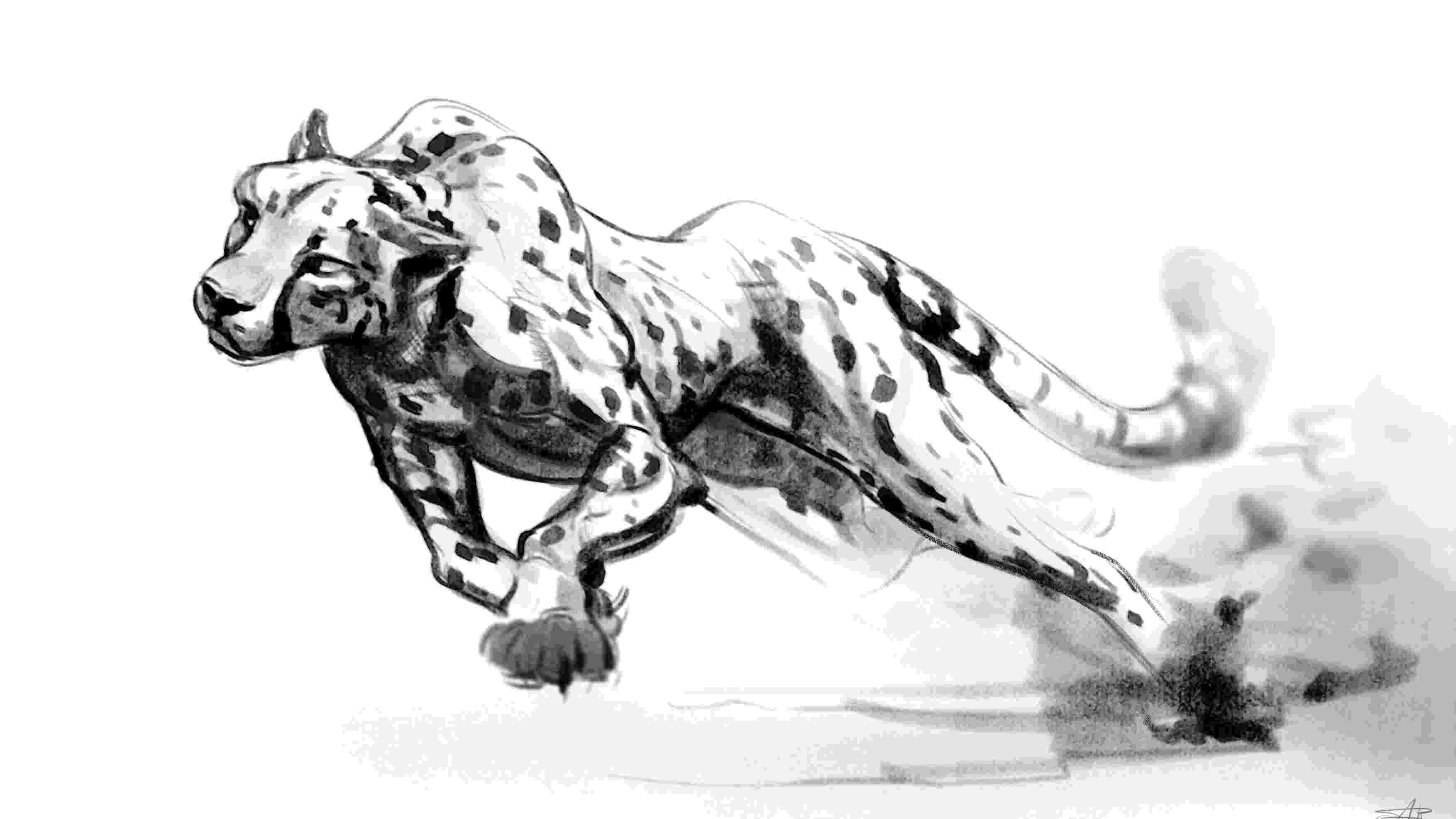 sketch of cheetah cheetah drawing lesson of cheetah sketch