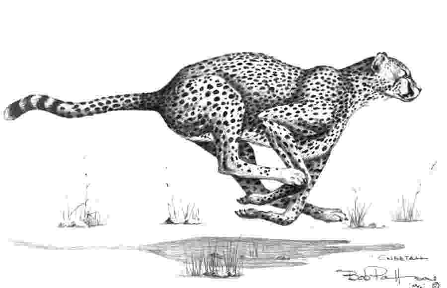 sketch of cheetah cheetah on the kill drawing by bob patterson of sketch cheetah