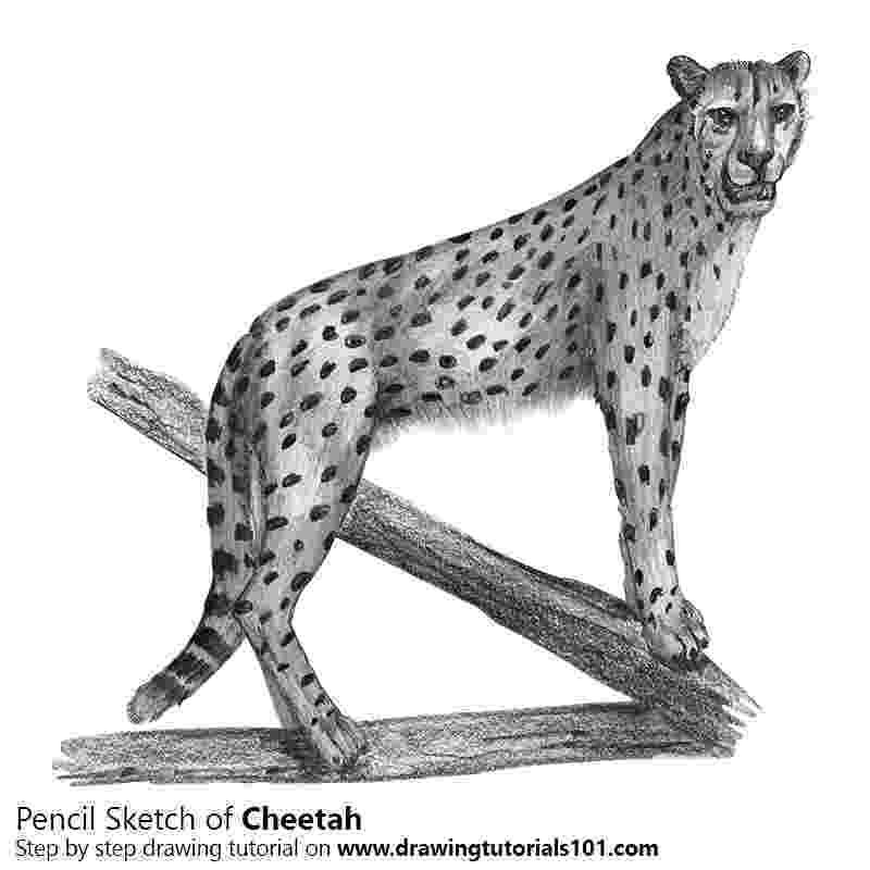 sketch of cheetah cheetah pencil drawing how to sketch cheetah using sketch of cheetah