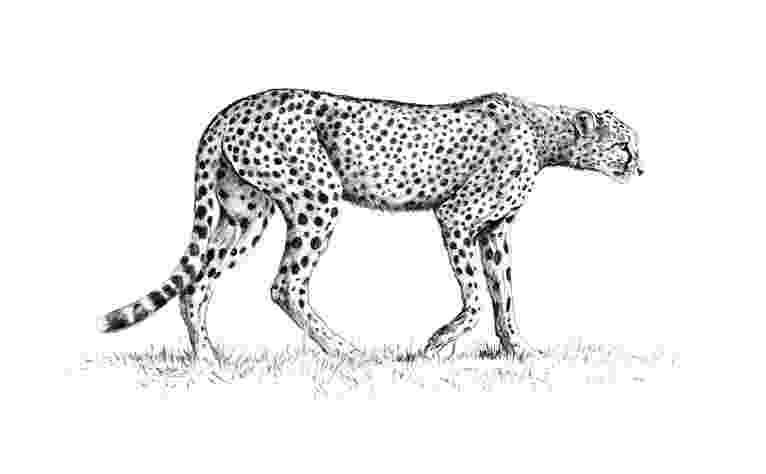 sketch of cheetah cheetah pencil drawing of sketch cheetah