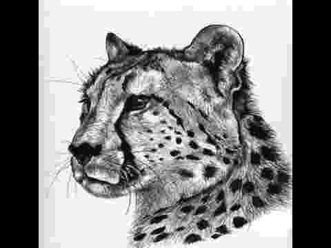 sketch of cheetah cheetah pencilcharcoal sketch 1heart1soul sketch cheetah of