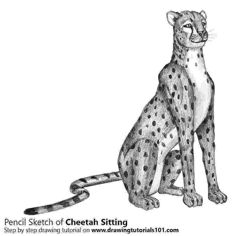 sketch of cheetah cheetah sitting pencil drawing how to sketch cheetah cheetah sketch of