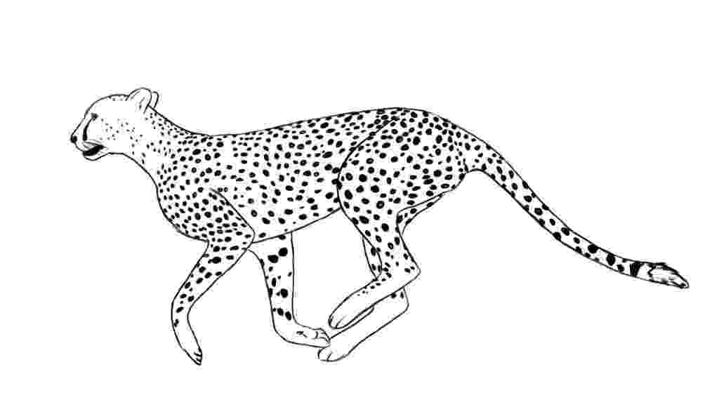 sketch of cheetah free printable cheetah coloring pages for kids sketch cheetah of