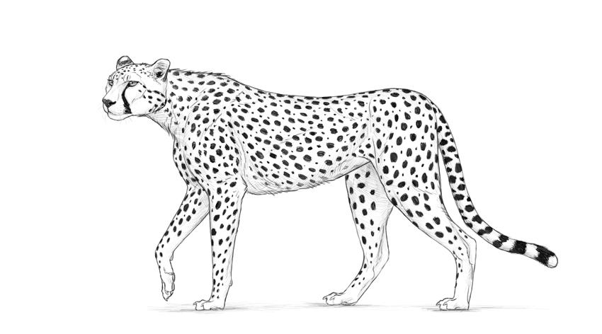 sketch of cheetah how to draw a cheetah cheetah sketch of