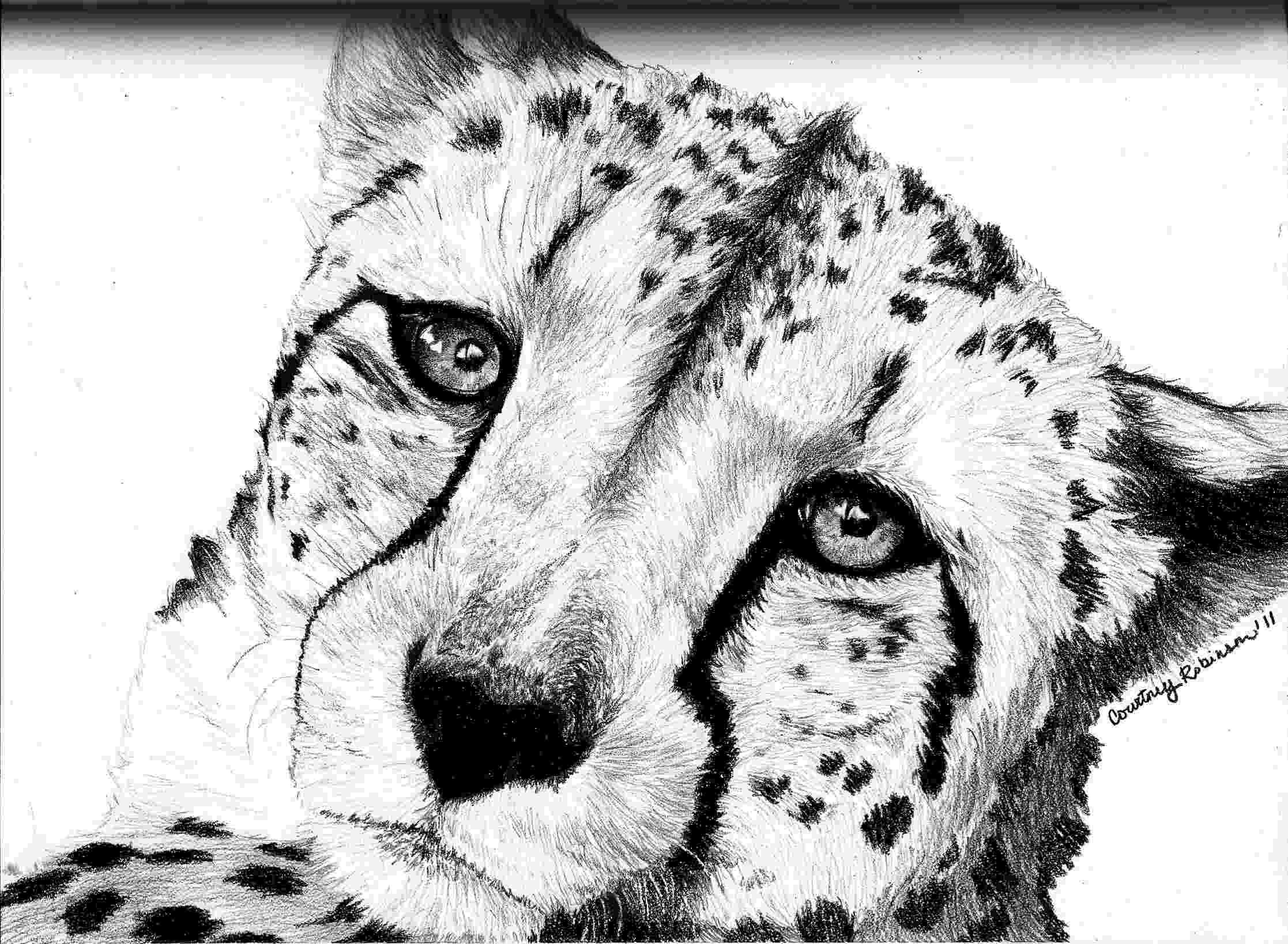 sketch of cheetah how to draw a cheetah drawingforallnet cheetah of sketch