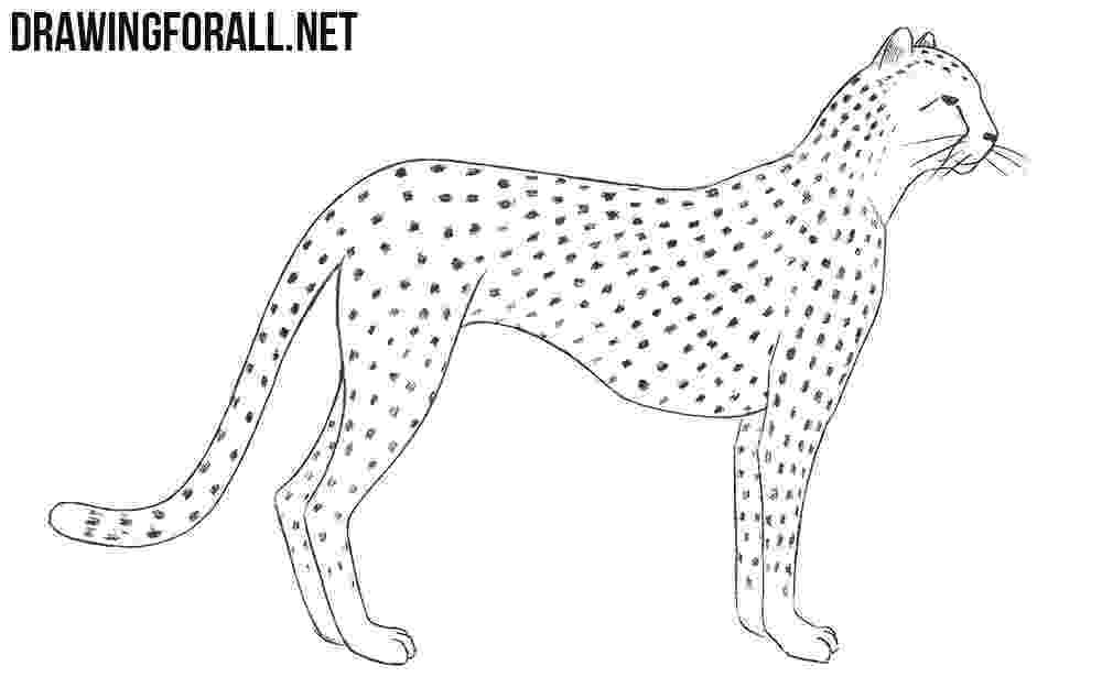 sketch of cheetah how to draw a cheetah drawingforallnet sketch of cheetah