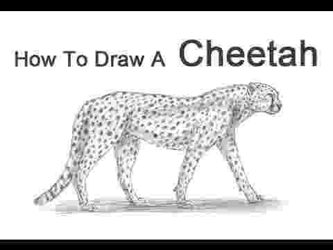 sketch of cheetah how to draw a cheetah youtube cheetah of sketch