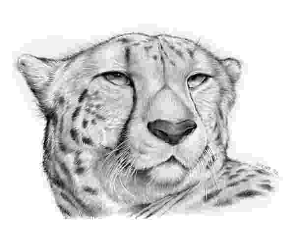 sketch of cheetah how to draw cheetah face head pencil drawing step by step sketch of cheetah