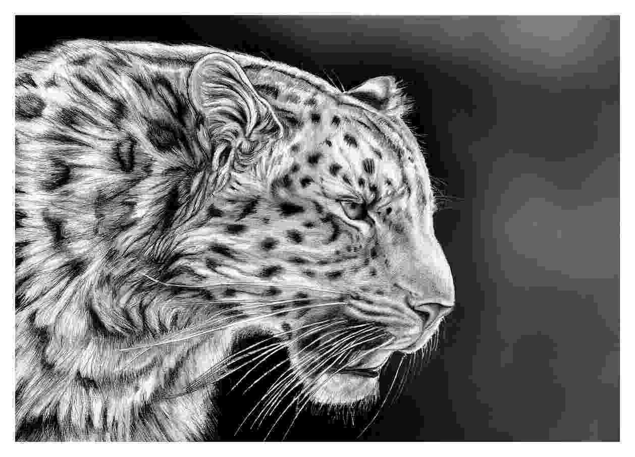 sketch of cheetah how to draw cheetahs cheetah cat step by step safari cheetah sketch of