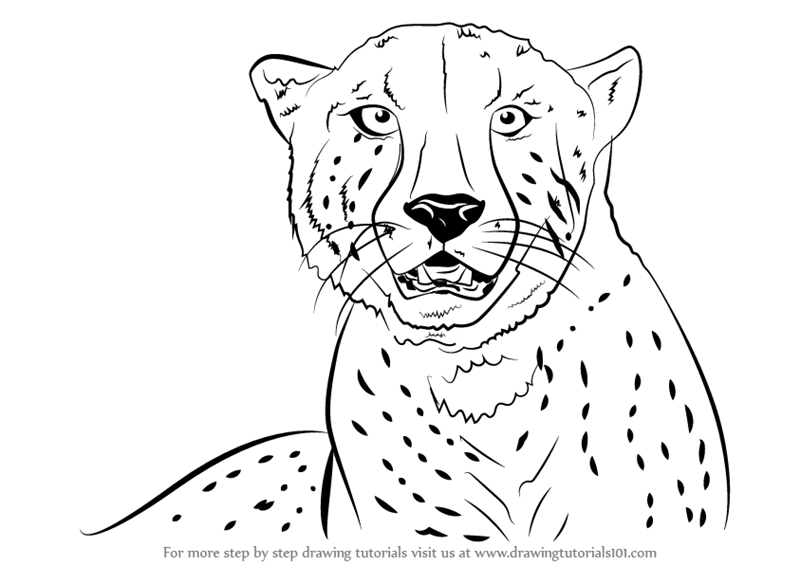 sketch of cheetah how to draw realistic cheetah tiger step by step easy for cheetah of sketch