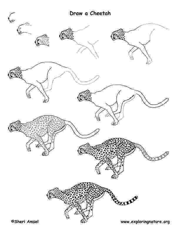 sketch of cheetah learn how to draw a cheetah running big cats step by sketch cheetah of