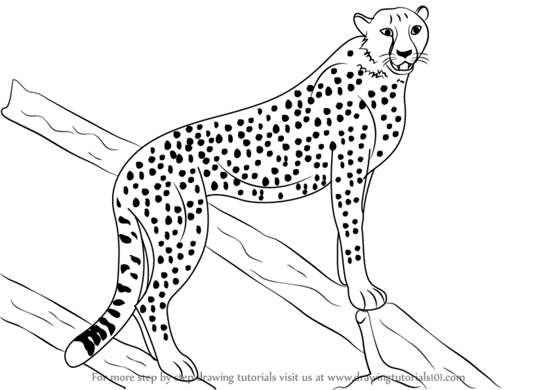 sketch of cheetah step by step how to draw a cheetah drawingtutorials101com cheetah sketch of