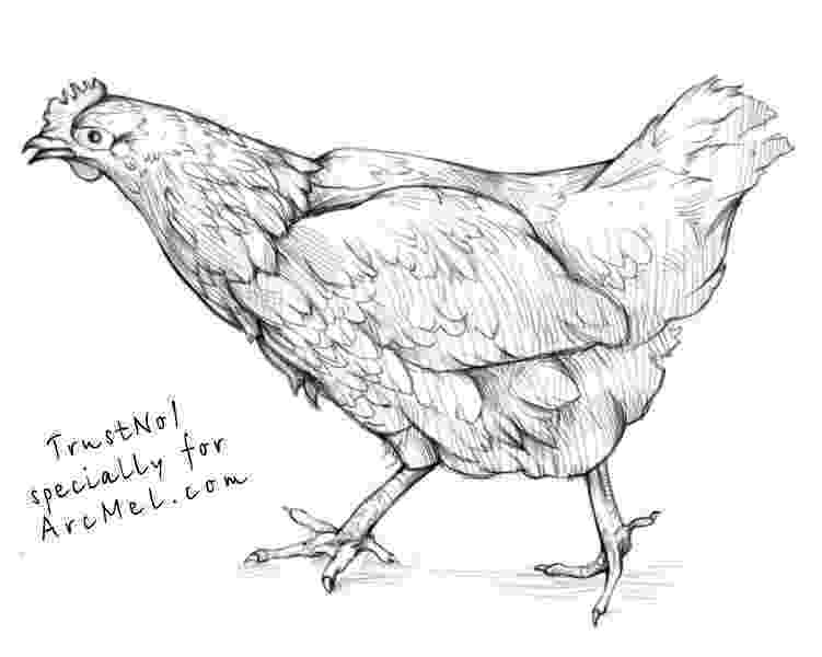 sketch of hen hen drawing images free download on clipartmag sketch of hen
