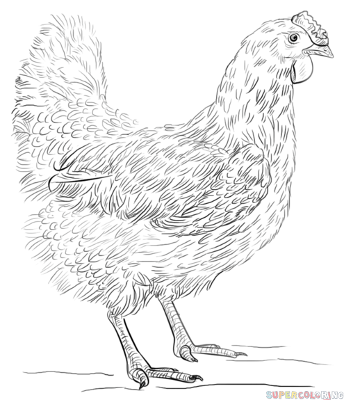 sketch of hen rooster and hen coloring page free printable coloring pages sketch hen of