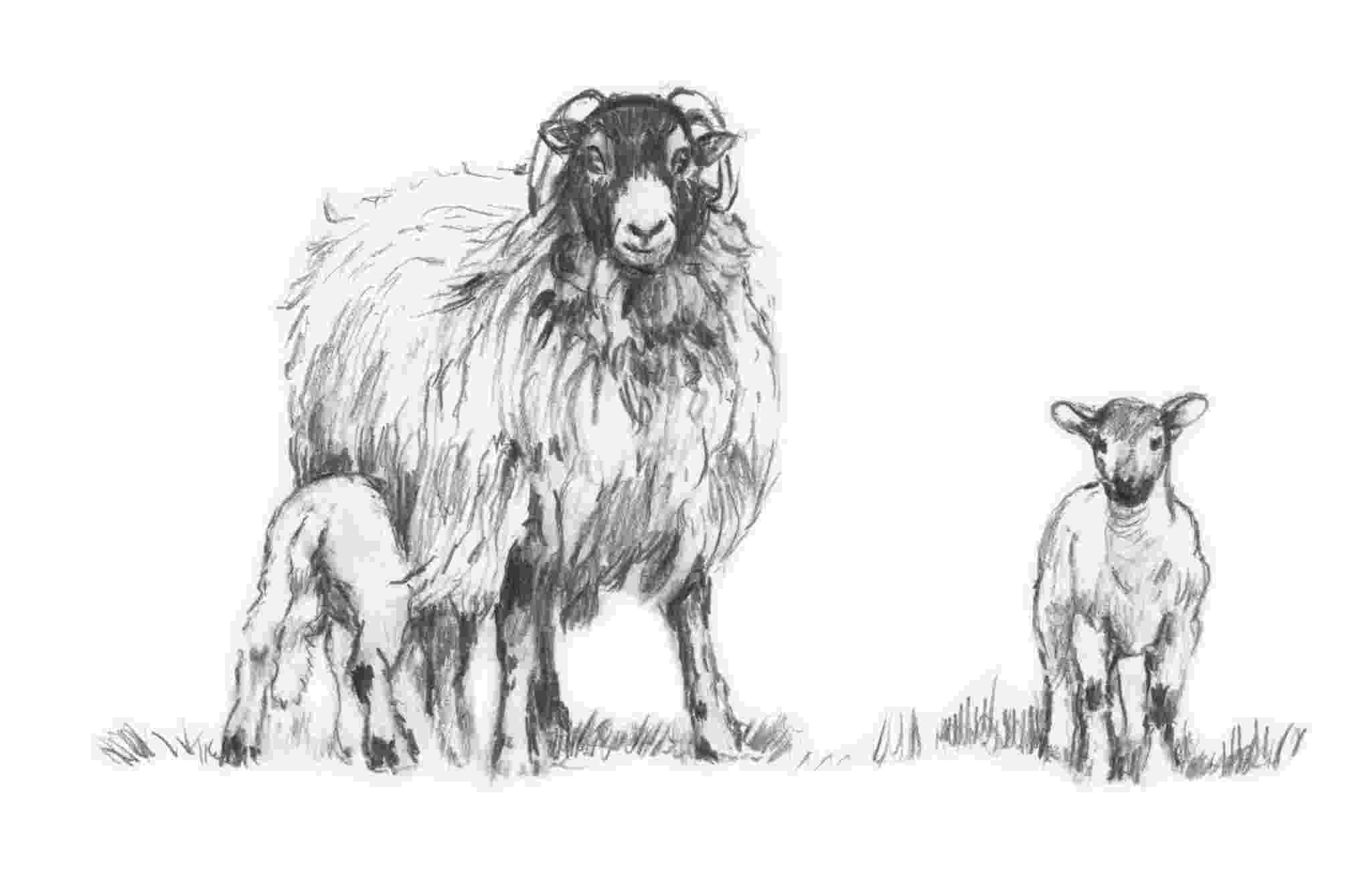 sketch of sheep contact diana rosemary lodge painter of gypsies horses of sheep sketch