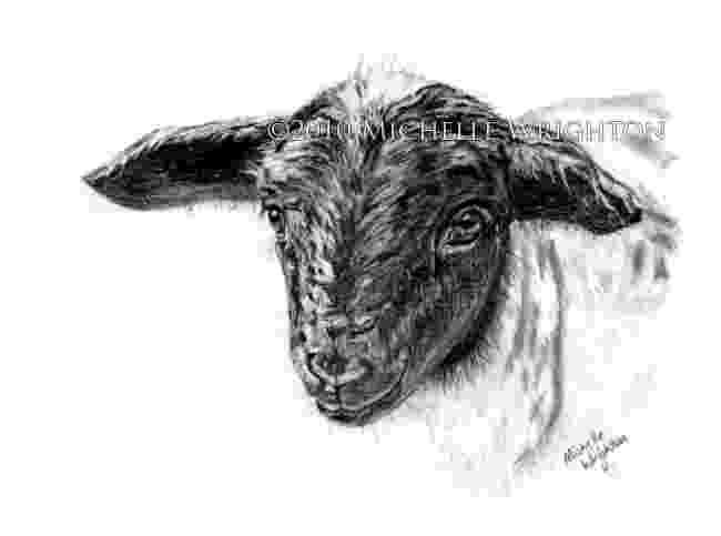 sketch of sheep dorper sheep farm animal sketch michelle wrighton sheep sketch of