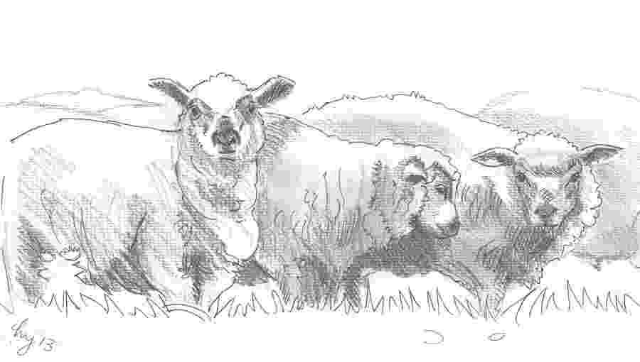 sketch of sheep free sheep drawing download free clip art free clip art sheep of sketch