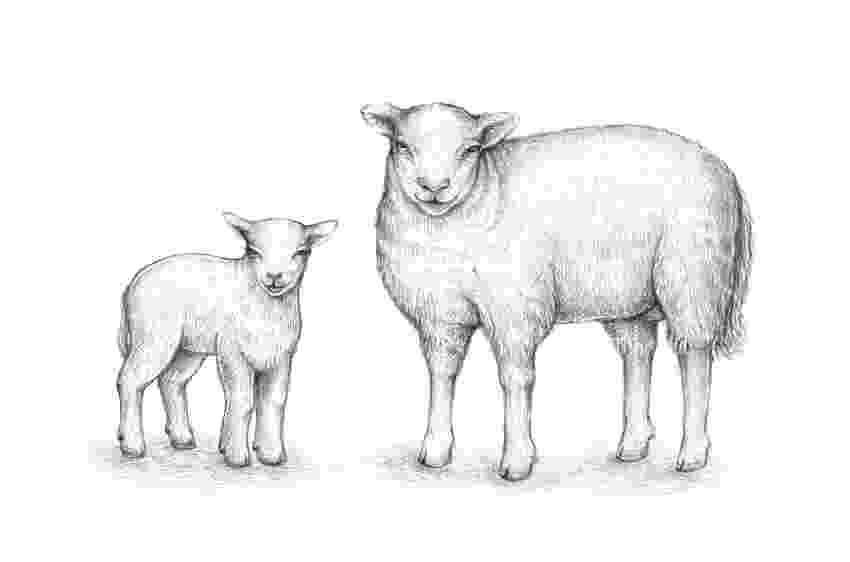 sketch of sheep free sheep drawings for kids download free clip art free sheep of sketch
