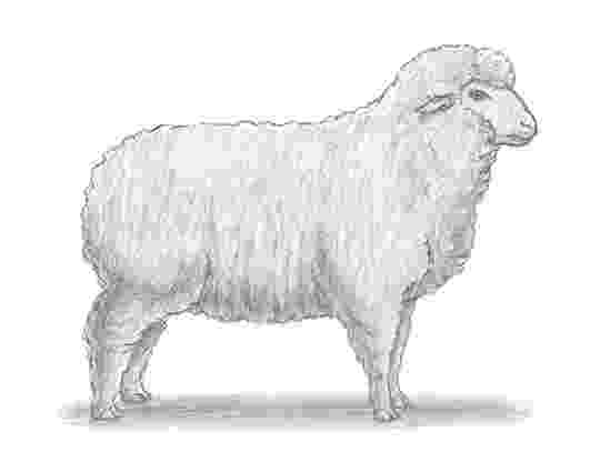 sketch of sheep how to draw a sheep of sheep sketch