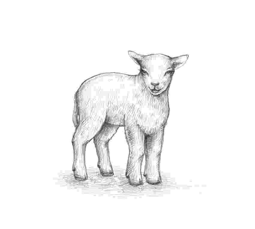 sketch of sheep how to draw a sheep of sketch sheep