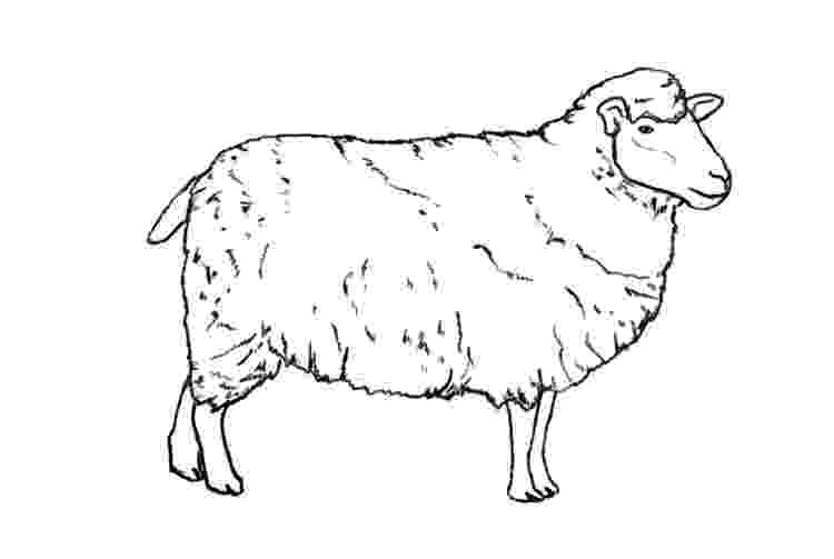 sketch of sheep how to draw a sheep sheep of sketch