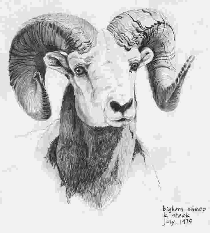 sketch of sheep pin on lambakins pencil sketches ect sketch sheep of