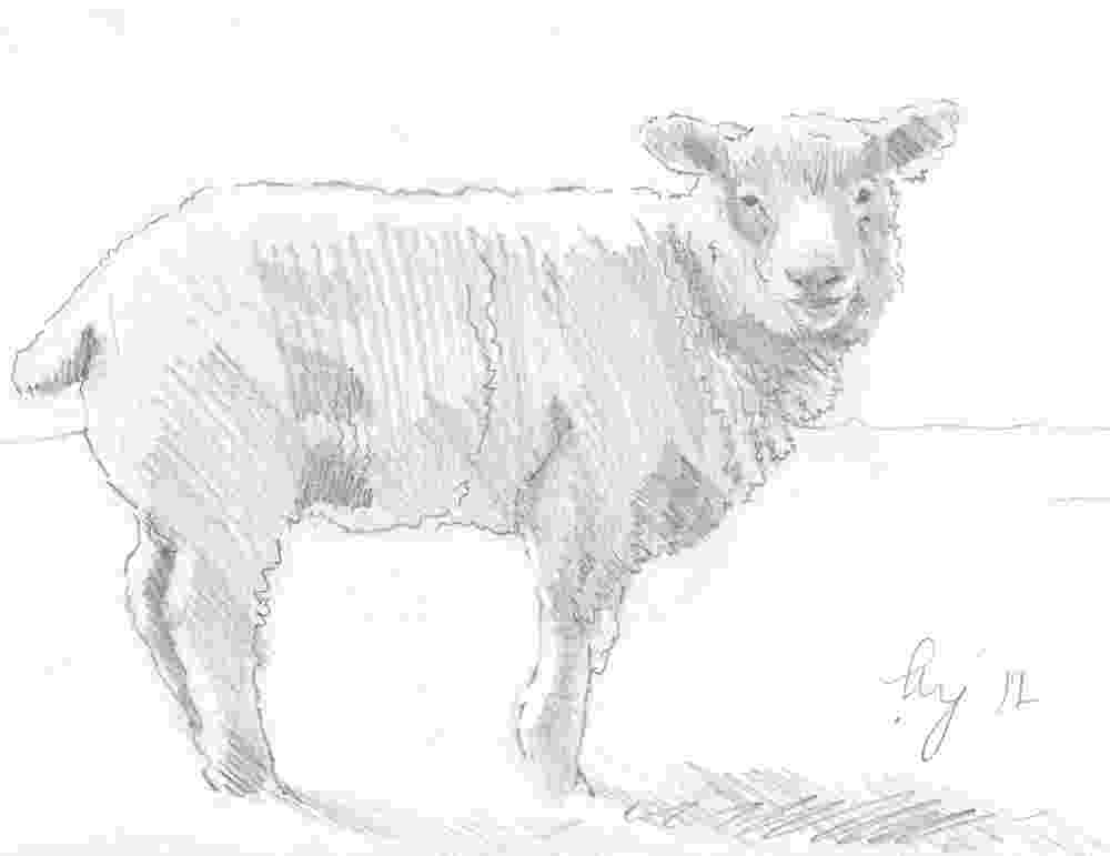 sketch of sheep quotsheep pencil drawingquot by mikejory redbubble of sketch sheep