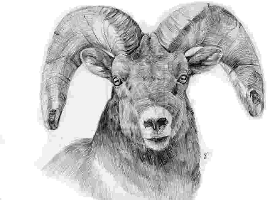 sketch of sheep sheep drawing חיפוש ב google sheep drawing pencil of sketch sheep