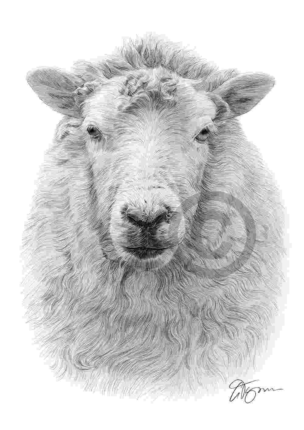 sketch of sheep sheep pencil graphite print a4 a3 signed by artist sketch of sheep