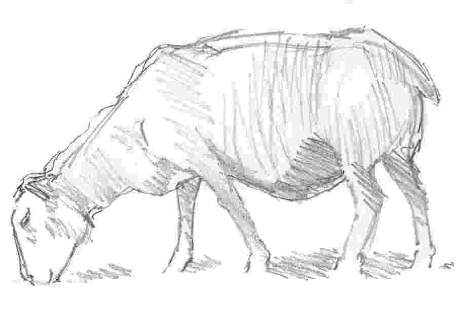 sketch of sheep sheep sketch drawing by mike jory sheep of sketch