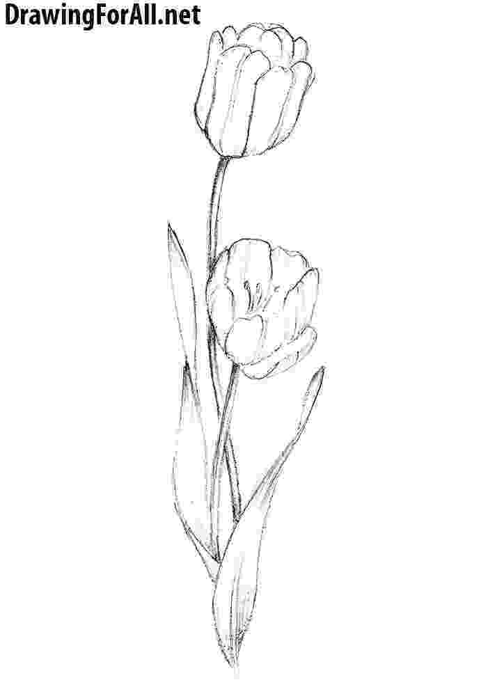 sketch of tulip flower how to draw a tulip drawingforallnet flower tulip sketch of