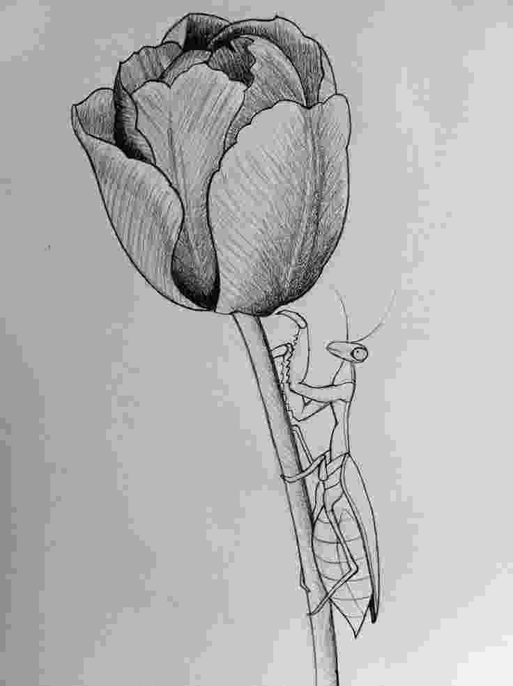 sketch of tulip flower mantistulip line art by darcydoll on deviantart tulip of tulip flower sketch